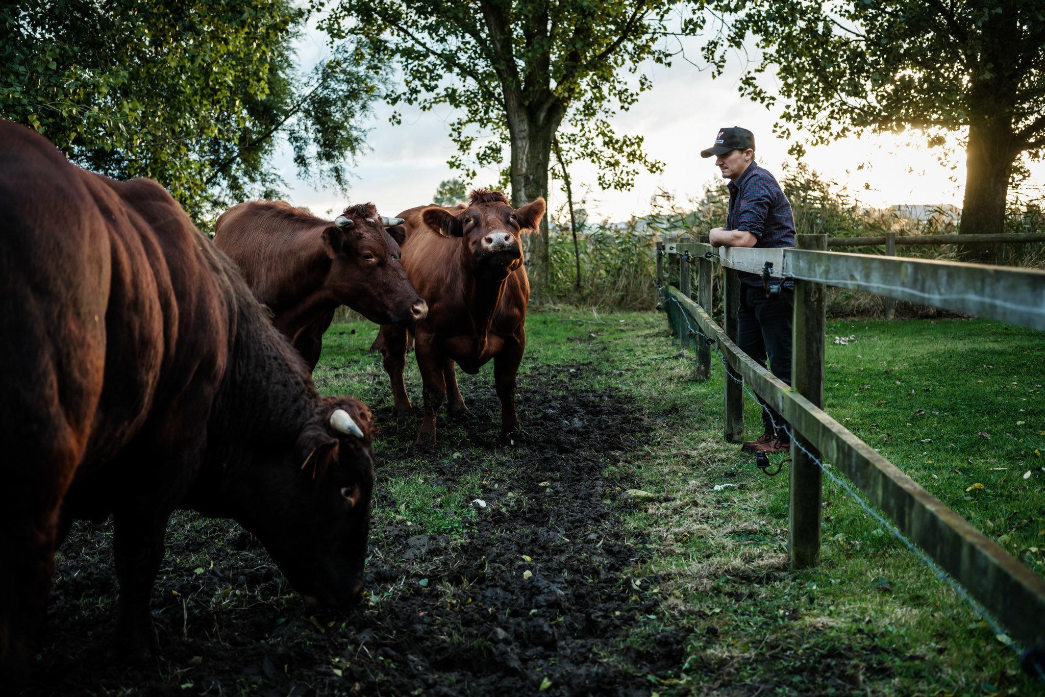 Hendrik Dierendonck dans les champs avec les vaches rouges de Belgique
